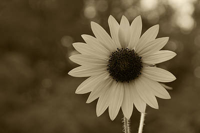 Photograph - A Single Sunflower by Charles Beeler