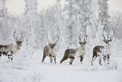 Dalton Highway Photograph - A Small Group Of Caribou Migrates by Hugh Rose