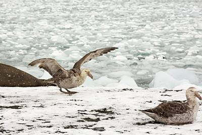 Brash Photograph - A Southern Giant Petrel by Ashley Cooper