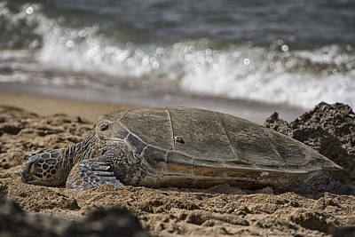 Green Sea Turtle Photograph - A Time To Rest by Douglas Barnard