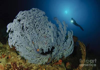 A Very Rare Blue Sea Fan, Gorontalo Art Print by Steve Jones