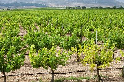Grape Vines Photograph - A Vineyard Near Jumilla by Ashley Cooper