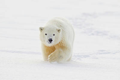 A Yearling Polar Bear Cub Plays Art Print by Hugh Rose