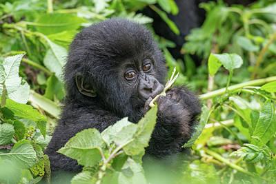A Young Mountain Gorilla, Gorilla Art Print