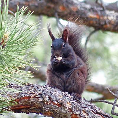 Photograph - Aberts Squirrel by Thomas Samida