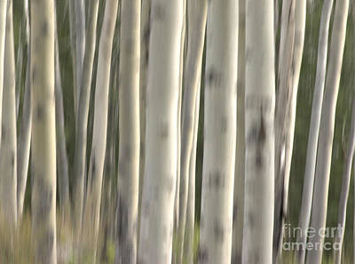 Photograph - Abstract Aspens by David Birchall