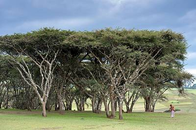 Gathering Photograph - Acacia Abyssinica Tree Near Debarq by Tony Camacho