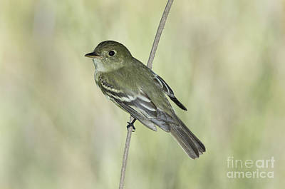 Flycatcher Photograph - Acadian Flycatcher by Anthony Mercieca