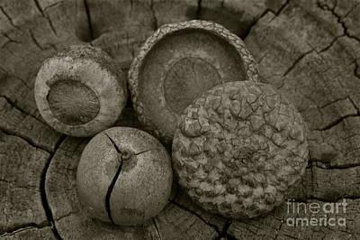 Photograph - Acorns by Tim Good