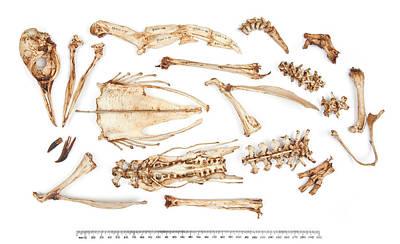 Adelie Penguin Skeleton Print by Natural History Museum, London