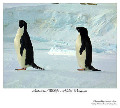 Photograph - Adelie Penguins by David Barringhaus