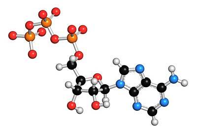 Triphosphate Photograph - Adenosine Triphosphate Molecule by Molekuul