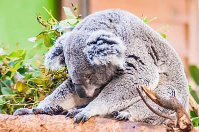 Photograph - Adorable Koala Bear Taking A Nap Sleeping On A Tree by Alex Grichenko