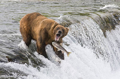 Photograph - Adult Brown Bear Fishing For Salmon At by Kenneth Whitten