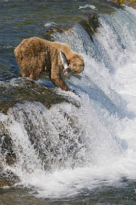 Grizzly Photograph - Adult Brown Bear Fishing For Salmon by Kenneth Whitten
