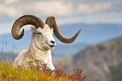 Adult Dall Sheep Ram Resting Print by Michael Jones