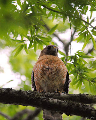 Photograph - Adult Red Shouldered Hawk by Jai Johnson