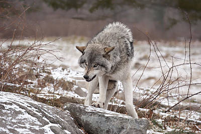 Print featuring the photograph Adult Timber Wolf by Wolves Only