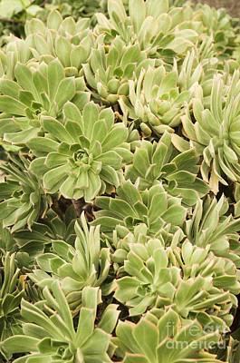 Aeonium Photograph - Aeonium Percarneum by Adrian Thomas