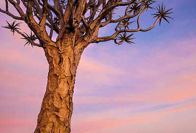 Africa, Namibia Close-up Of Quiver Tree Art Print