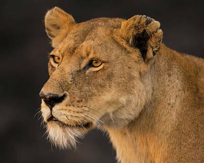 Africa Tanzania African Lioness Art Print