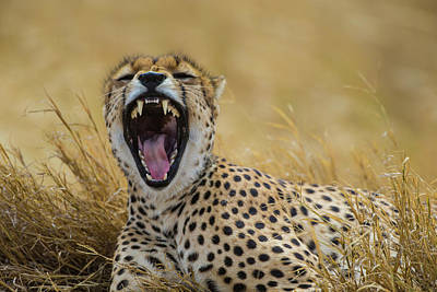 Cheetah Photograph - Africa Tanzania Cheetah (acinonyx by Ralph H. Bendjebar