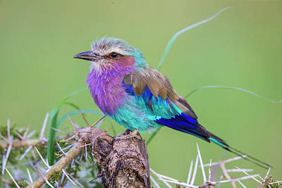 Africa Tanzania Lilac-breasted Roller Art Print