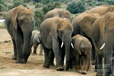 African Bush Elephants Art Print by Peter Chadwick
