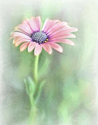 Photograph - African Daisy by David and Carol Kelly