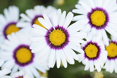 African Daisy Art Print by Neil Overy