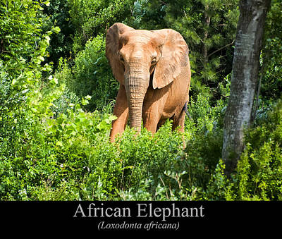 Digital Art - African Elephant by Chris Flees