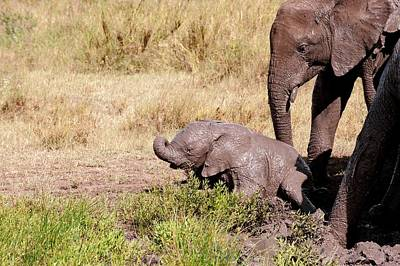 African Elephant Family At A Mud Bath Art Print by Science Photo Library