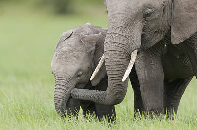 African Elephant Juvenile And Calf Kenya Art Print by Tui De Roy