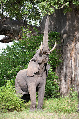 Baobab Photograph - African Elephant Loxodonta Africana by Panoramic Images
