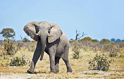 African Elephant Photograph - African Elephant Mock-charging by Liz Leyden