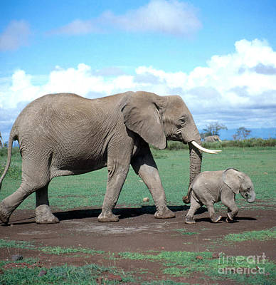 African Elephant With Calf Art Print by Hans Reinhard