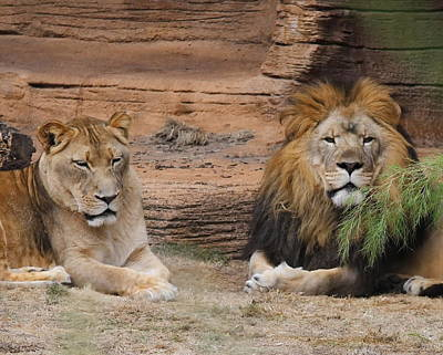 Zoo Photograph - African Lion Couple by Cathy Lindsey