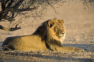 Photograph - African Lion Male by Tony Camacho
