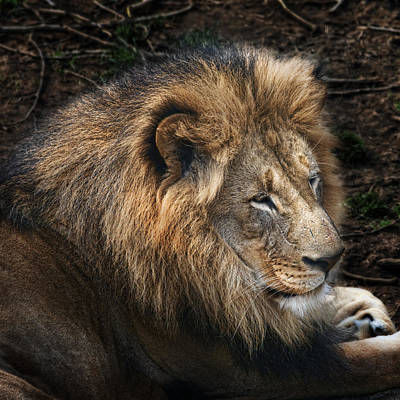 Of Felines Photograph - African Lion by Tom Mc Nemar