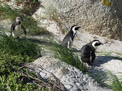 African Penguin Spheniscus Demersus Print by Panoramic Images