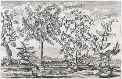 African Plants, 17th Century Art Print