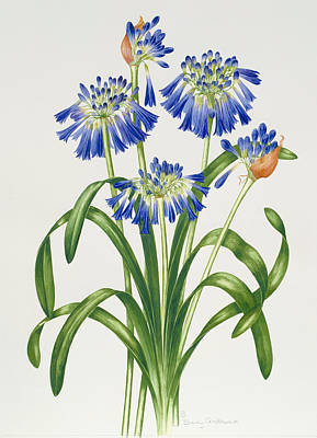 Agapanthus Painting - Agapanthus by Sally Crosthwaite