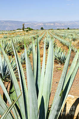 Agave Photograph - Agave Cactus Field In Mexico by Elena Elisseeva