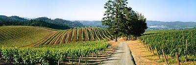 Agriculture - A Hillside Wine Grape Art Print