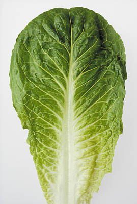 Romaine Lettuce Photograph - Agriculture - Closeup Of A Romaine by Ed Young