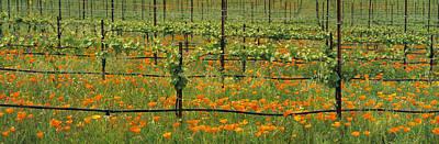 Agriculture - Wine Grape Vineyard Art Print