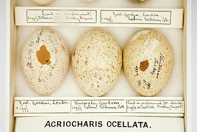 Meleagris Photograph - Agriocharis Ocellata Eggs by Natural History Museum, London