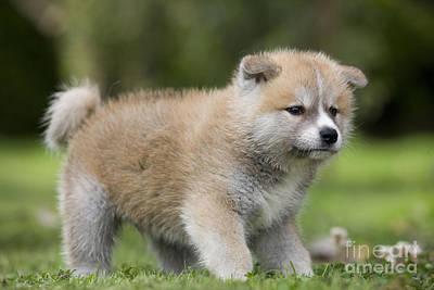 Japanese Puppy Photograph - Akita Inu Puppy Dog by Jean-Michel Labat