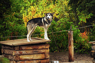 Alaskan Husky, Denali National Park Art Print by Michel Hersen