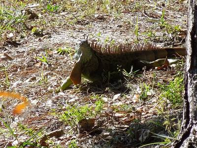 Photograph - Large Iguana At Wakodahatchee Wetlands by Ron Davidson